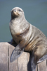 South Africa,Cape Town,seal sitting on pier
